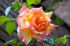 A rose in Autumn. A pink and orange rose in Autumn, October with fresh raindrops Stock Photo