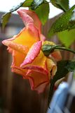 A rose in Autumn. A pink and orange rose in Autumn, October with fresh raindrops Stock Images