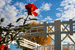 Rose and autumn 1 Royalty Free Stock Images