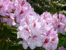 Rose aux azalées fleurissantes rouges Photographie stock libre de droits