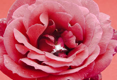 Rose avec amour Photo stock