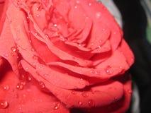 Rose avec des baisses de l'eau Photos libres de droits