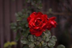 Rose avec des baisses de l'eau photographie stock