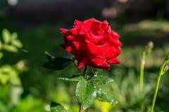 Rose avec des baisses de l'eau, du soleil de matin et de fond brouillé Photographie stock