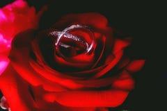 Rose avec des bandes de mariage Image stock