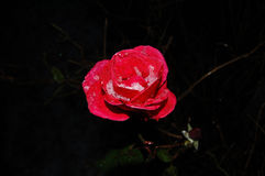 Rose avec des cristaux de glace image libre de droits