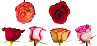 Rose avec des feuilles d'isolement sur le blanc Images libres de droits