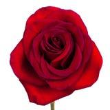 Rose avec des feuilles d'isolement sur le blanc Images stock