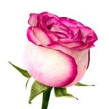 Rose avec des feuilles d'isolement sur le blanc Photographie stock