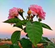 Rose avec des nuances de coucher du soleil Photographie stock