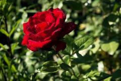 Rose avec du charme de rouge Photo stock