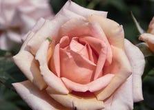 Rose avec l'araignée minuscule Images libres de droits