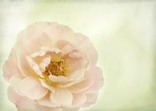 Rose avec la texture Images stock