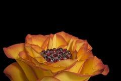 Rose avec les cristaux rouges Photo stock