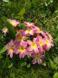 Rose avec les fleurs jaunes d'étoile Photo libre de droits