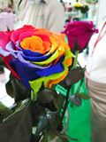 Rose avec les pétales multicolores Photo stock