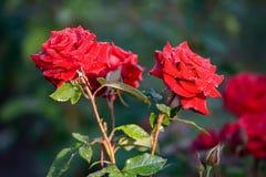 Rose avec les pétales rouges dans les baisses de la rosée pendant le début de la matinée Photo stock