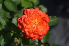 Rose Baby Masquerade stock afbeeldingen