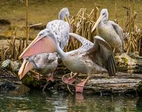 Rose backed pelican standing at the water side and spreading its wings, bird ready for take off, pelican family portrait, tropical. A rose backed pelican stock photography