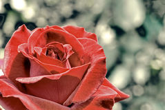 Rose Background. A background with a beautyful red rose Royalty Free Stock Photo