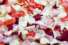 Rose background. Stock Image