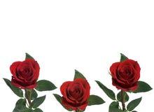 Rose Background. Three roses isolated on a white background Stock Photo