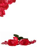 Rose Background. Red Roses Isolated on White Background Royalty Free Stock Photos