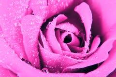 Rose background Royalty Free Stock Image