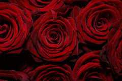 Rose Background. A background of several velvet red roses Royalty Free Stock Photo