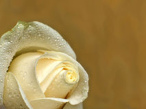 Rose for a background. Cream rose on a background of a wall Stock Photography