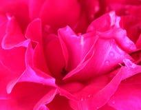 Rose Background abstrata com gotas de água Fotografia de Stock