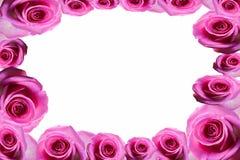 Rose background beautifu pink,red rose isolated on white background Stock Image