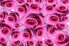 Rose background beautifu pink,red rose isolated on white background Royalty Free Stock Photos