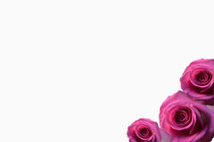 Rose background beautifu pink,red rose isolated on white background black white. Rose background,rose background beautifu pink,red rose isolated on white Stock Image