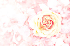 Rose Background Stock Photography
