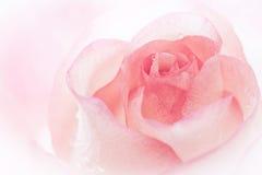 Rose background. Stock Photo