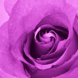 Rose Background cor-de-rosa - fotos conservadas em estoque da flor Foto de Stock Royalty Free