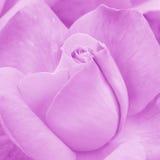 Rose Background cor-de-rosa - fotos conservadas em estoque da flor Fotos de Stock