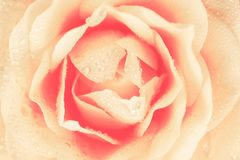 Rose Background cremosa Fotografia Stock