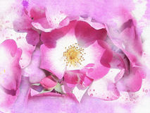 Rose background. Purple rose background watercolor Stock Images