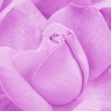 Rose Background rosa - foto di riserva del fiore Fotografie Stock