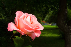 Rose on a background of shaded garden Stock Photography