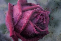 Rose background with texture. Rose flower with additional texture effect Stock Image