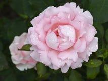Rose Badener Trotters Champion royalty-vrije stock fotografie