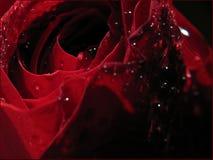 Rose bajo gotas de una lluvia? Imagen de archivo libre de regalías
