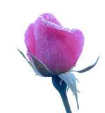 Rose bajo la escarcha Foto de archivo
