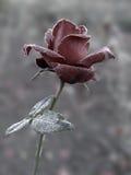 Rose bajo la escarcha Fotografía de archivo