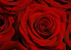 Rose bakgrund för Red Arkivbilder