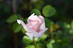 Rose Ballerina stock foto's