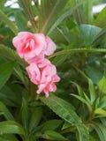 Rose Balsam Blooming cor-de-rosa imagem de stock